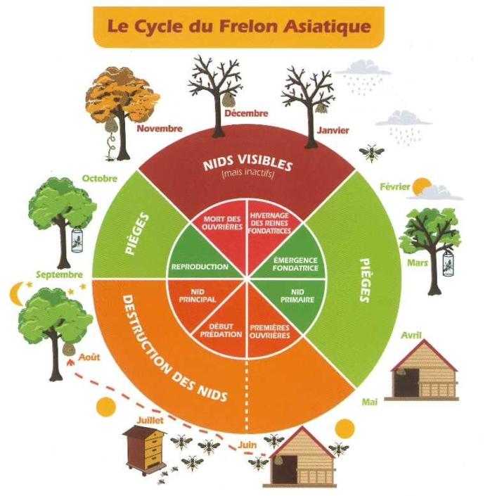 cycle frelon asiatique