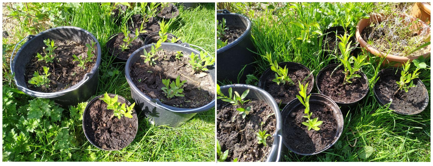 Salix Triandra Semperflorens